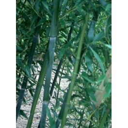 Phyllostachys bissetii - Bambou