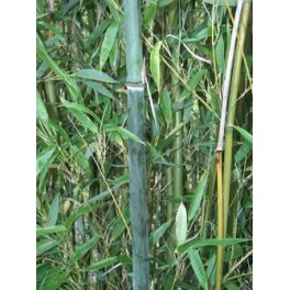 Bambou Phyllostachys heteroclada Oliver