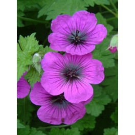 Geranium Dragon Heart