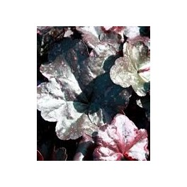 Heuchera Midnight Rose