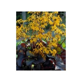 Ligularia dentata Britt Marie Crawford