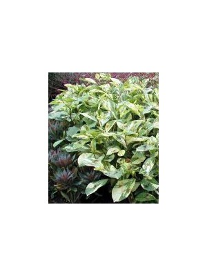 Persicaria  virginiana Painters Palette
