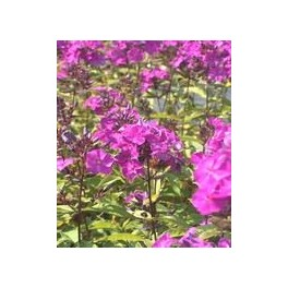 Phlox paniculata The King
