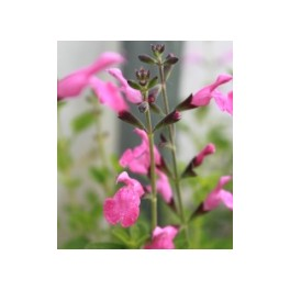Salvia microphylla Pink Beauty