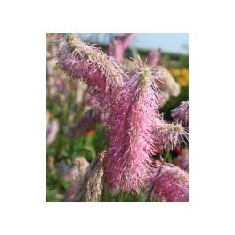 Sanguisorba Pink Brushes