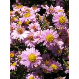 Aster novi-belgii Strawberry and cream