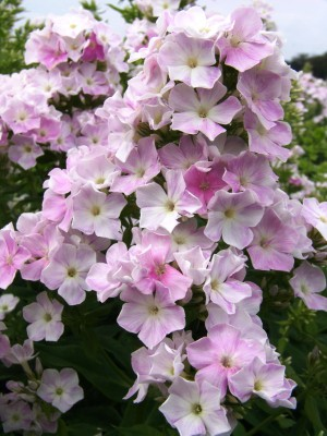 Phlox paniculata Cool Water