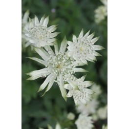 Astrantia major Madeleine
