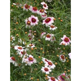 Coreopsis rosea Sweet Dreams