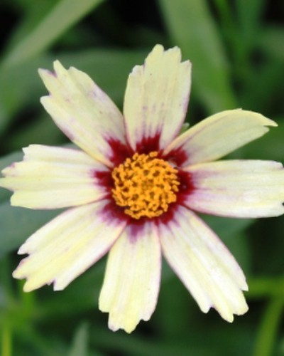 Coreopsis Redshift