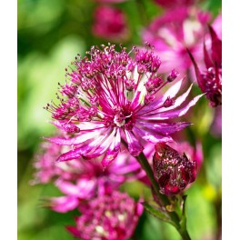 Astrantia major Ruby star