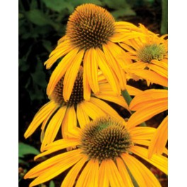 Echinacea Now Cheesier
