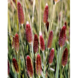 Pennisetum messaicum Red Buttons
