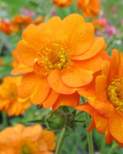Geum chiloense Princess Juliana