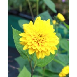 Helianthus Loddon Gold