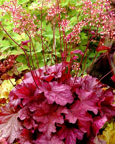 Heuchera berry smoothie plante vivace vivaces for Catalogue de plantes vivaces