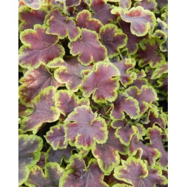 Heucherella Solar Eclipse
