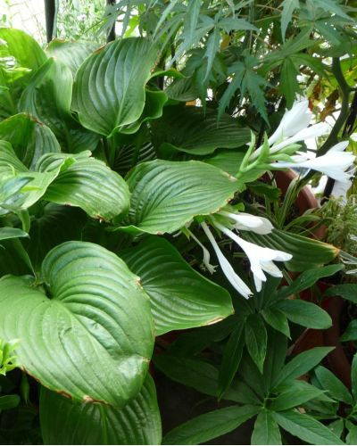 Hosta plantaginea Grandiflora
