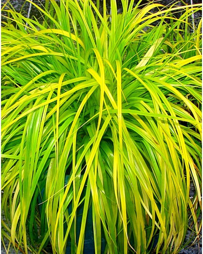 Carex oshimensis Everillo ®