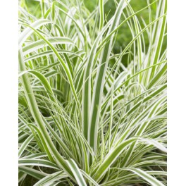 Carex oshimensis Everest ®