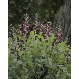 Baptisia Decadence Dutch Chocolate