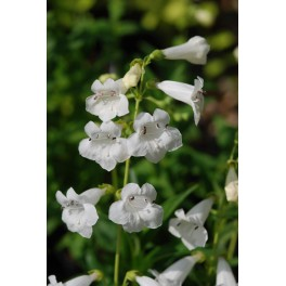 Penstemon hybride Snow Storm