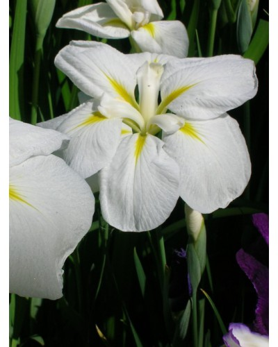 Iris ensata Apollo
