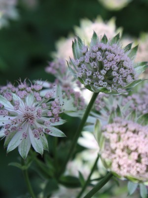 Astrantia major Buckland