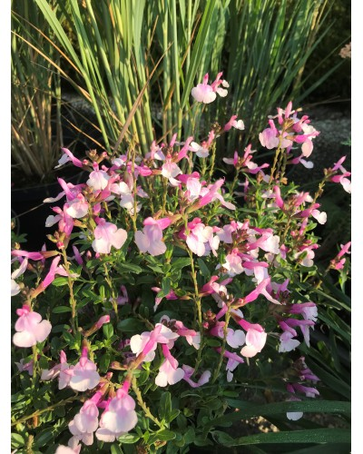 Salvia greggii mirage soft pink